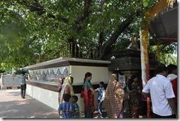 sarnath 015 arbre de Bodhi
