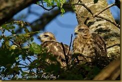 Red-shoulder Hawk Chicks _ROT4694 NIKON D3S June 06, 2011