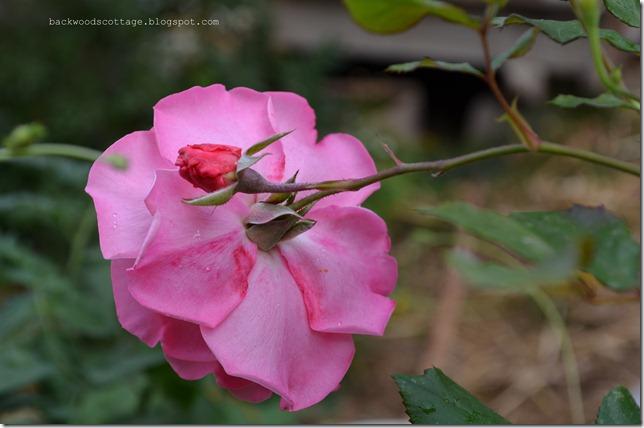 pinkrose12