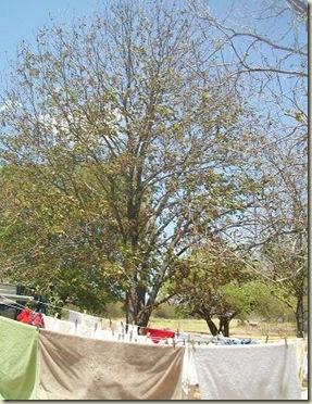 Pecan tree- back-2011