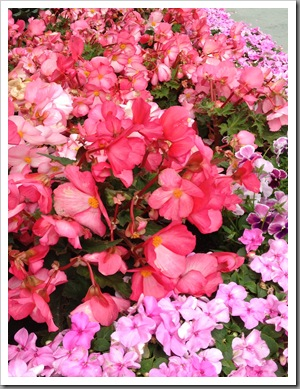 begonias, pansies, and impatiens