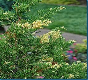 juniperus chinensis 'Kauzuka Variegated'