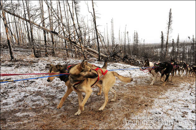 One of Anna Berington's team dogs looks back as they mush down the Iditarod trail in the middle of the Farewell Burn during the Iditarod Trail Sled Dog Race on Tuesday, 4 March 2014. Photo: BOB HALLINEN / Anchorage Daily News