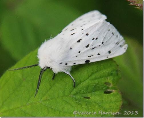 white-ermine-1