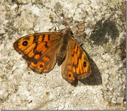 4 Wall-Butterfly