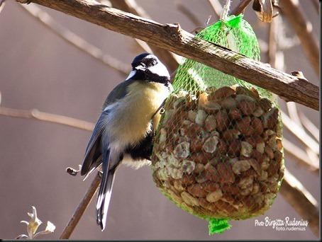 birds_20120305_talgoxe1