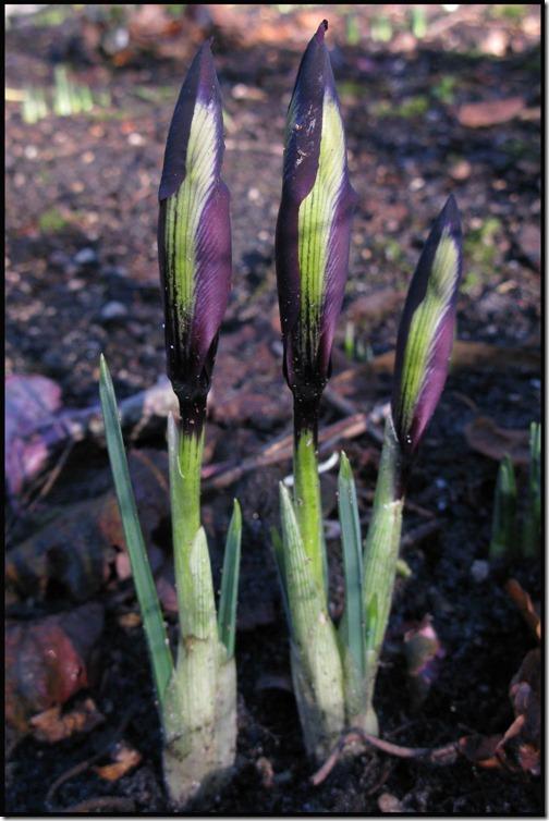 Iris reticulata 'Purple gem'