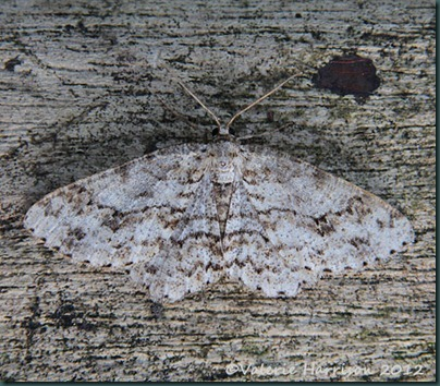 small-engrailed