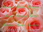 DSC01269.JPG blommor Rosa rosor (1)