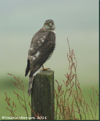 3 sparrowhawk-2 (2)
