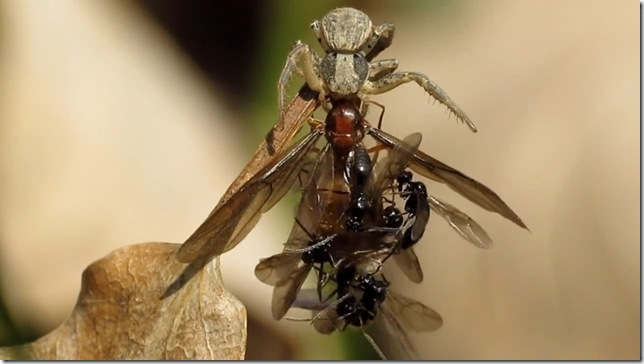 araigne-fourmis-ncrophilie_thumb