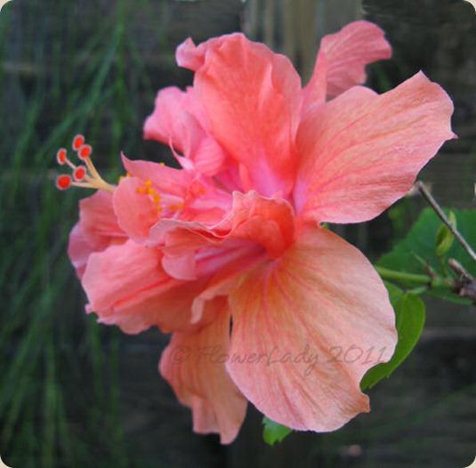 11-24-hibiscus