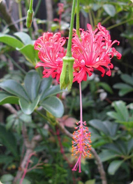 09-25-hibiscus