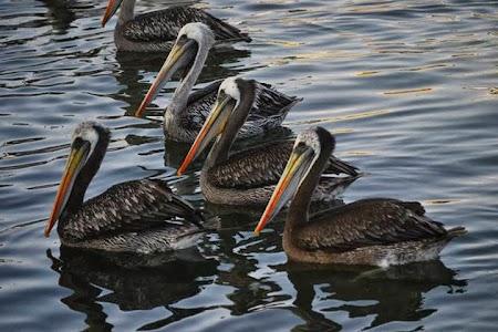 Obiective turistice Peru: Pelicani la Islas Ballestas