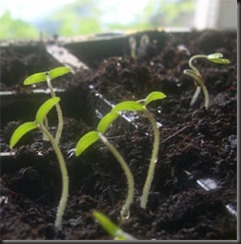 tomato%20seedlings