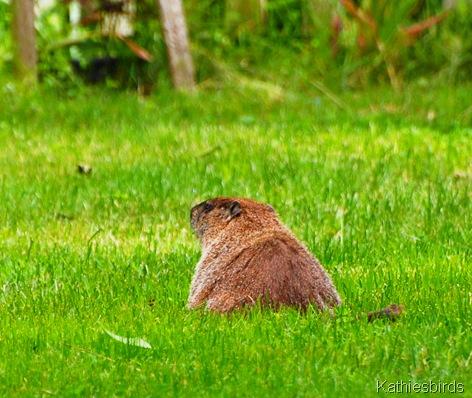 4. groundhog-kab