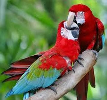 Amazing Pictures of Animals, Photo, Nature, Incredibel, Funny, Zoo, Red-and-green Macaw, ara chloropterus, Bird,  Alex.  (3)