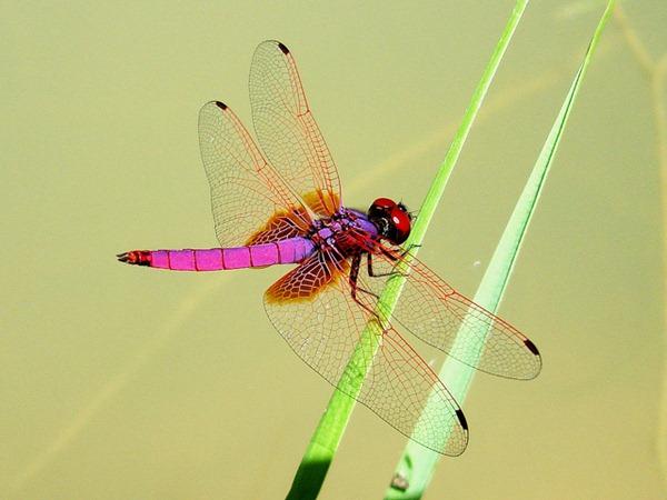 Pink Dragonflies 01