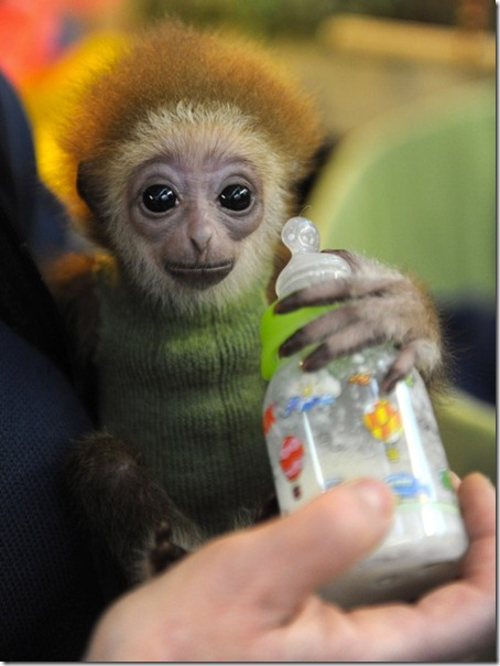 Germany-baby-gibbon-Knuppy