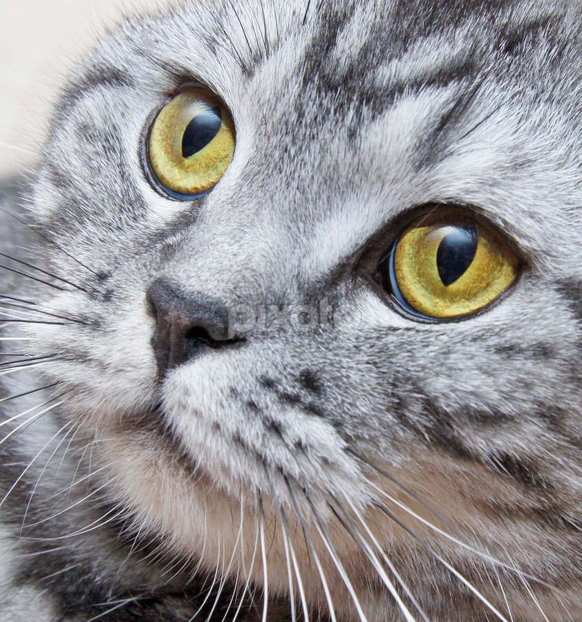 Deep in thoughts by Mia Ikonen - Animals - Cats Portraits ( female, finland, silver tabby, british shorthair, deep in thoughts, face, photography, closeup, close, up,  )