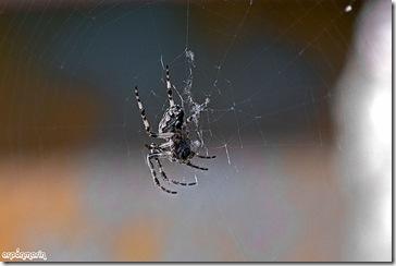 Araña, Larinioides cornutus. Su terreno de caza cercano a los rios.