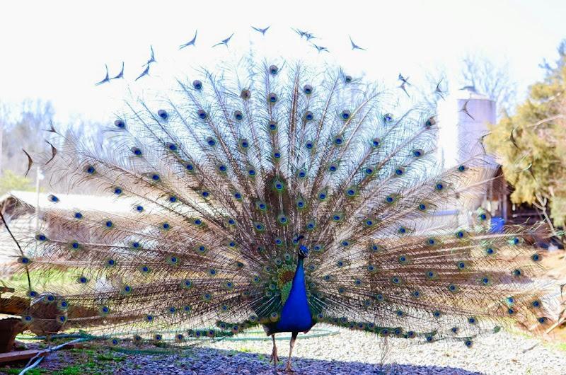 peacock-19478