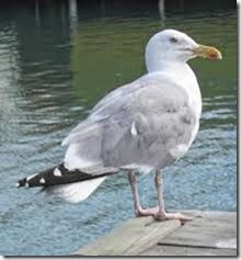 seagull pic
