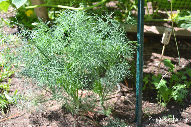 Tips to Growing Dill by Poofy Cheeks