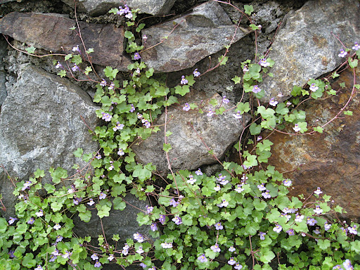 Cymabalaria muralis, sometimes called Kenilworth ivy or toadflax, is an adorable little plant that naturalizes beautifully. There is hardly anyplace where this little cutie doesn't look good! In fact, I'm trying to get it growing in my backyard right now.
