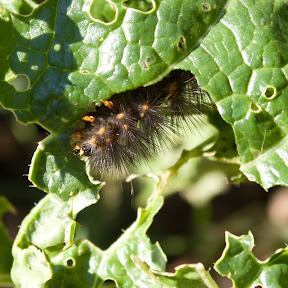 Caterpillar munching on chinese cabbage.