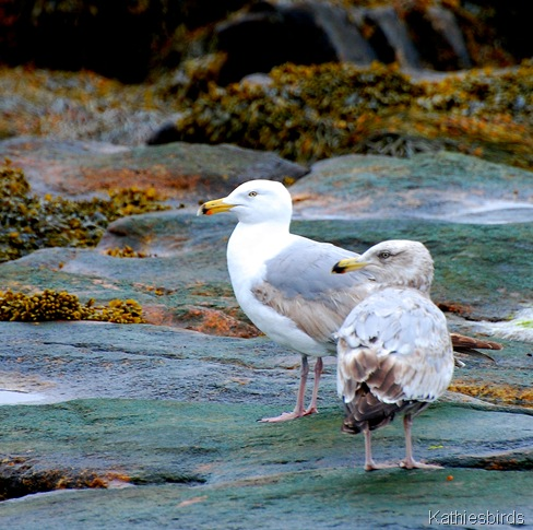 6. Herring gulls-kab