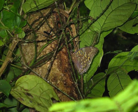 Charaxes tiridates CRAMER, 1777, mâle. Atewa Hills (Ghana), 8 janvier 2006. Photo : J. F. Christensen