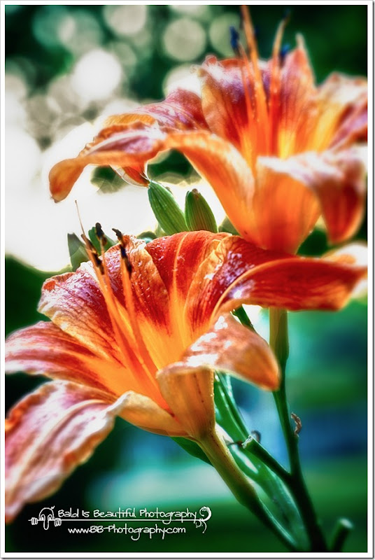 Day Lillies-3