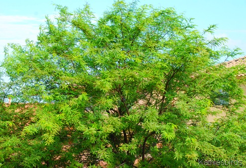 7. mesquite tree-kab