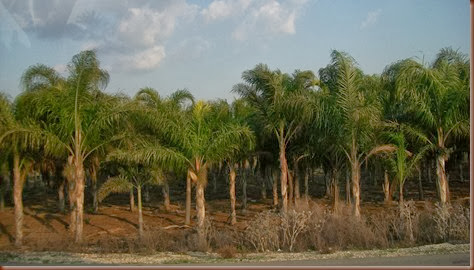 07DatePalms