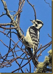 Downy Woodpecker D7K_8435 November 04, 2011 NIKON D7000