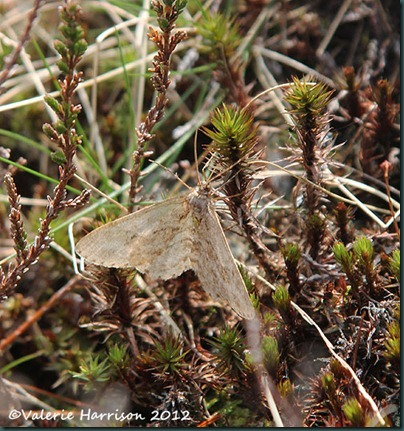 7-early tooth striped moth