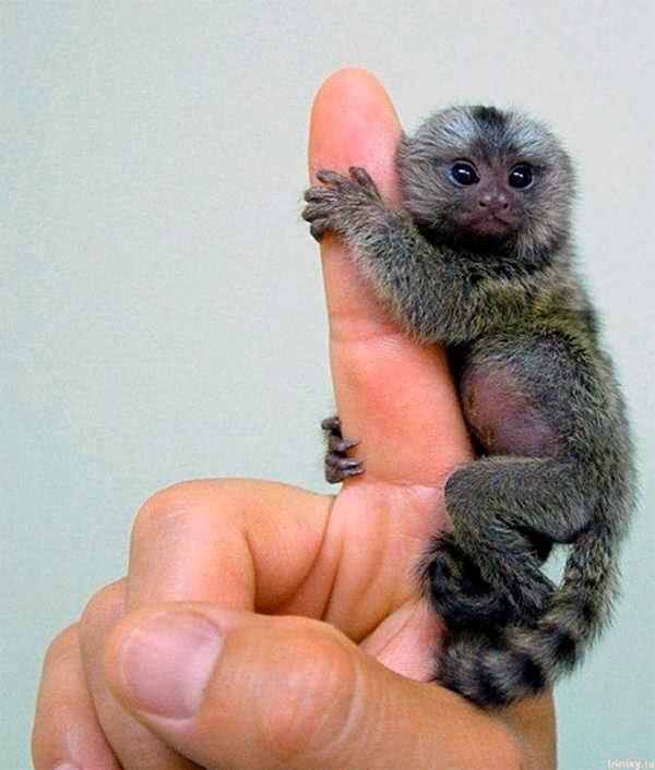 5- O Menor Macaco do Mundo