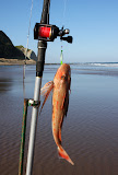 Gurnard, Ocean Beach, HB, NZ