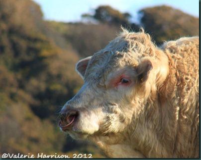 49-bull