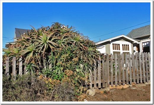 121028_SantaCruz_Aloe-arborescens1