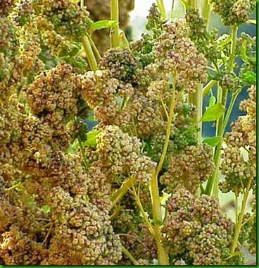 Quinoa Faro