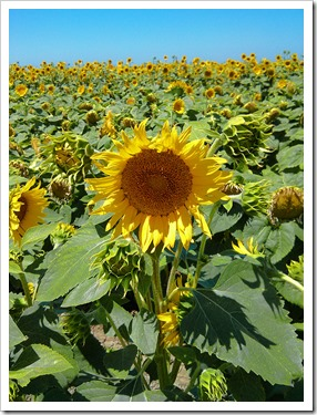 130706_CR102_sunflowers_22