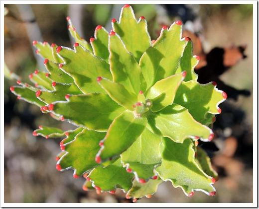 121027_UCSCArboretum_Leucospermum-cordifolium_02