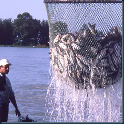 ikan keli amerika-CATFISH