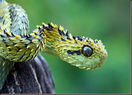 Amazing Animals Pictures The Bush Viper (2)