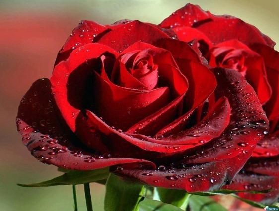 foto-rosas-vermelhas