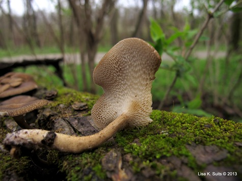 Polyporus arcularius stem and pore surface