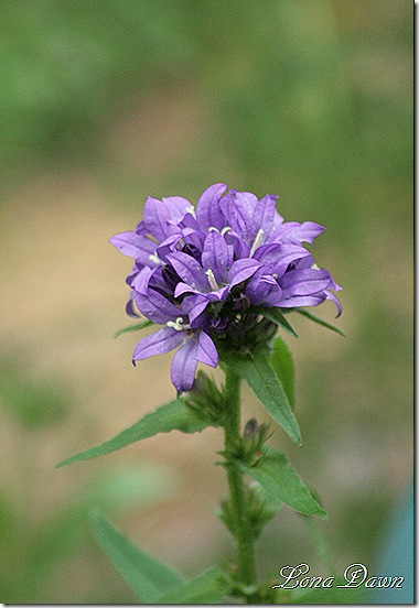 PurpleClusteredBellflower