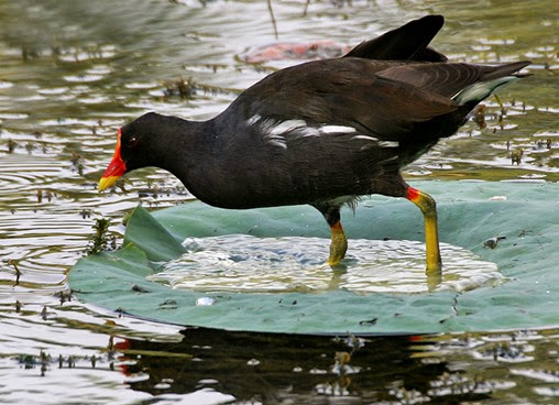 Amazing Pictures of Animals, Photo, Nature, Incredibel, Funny, Zoo, Common Moorhen, Gallinula chloropus, Aves, Alex (22)
